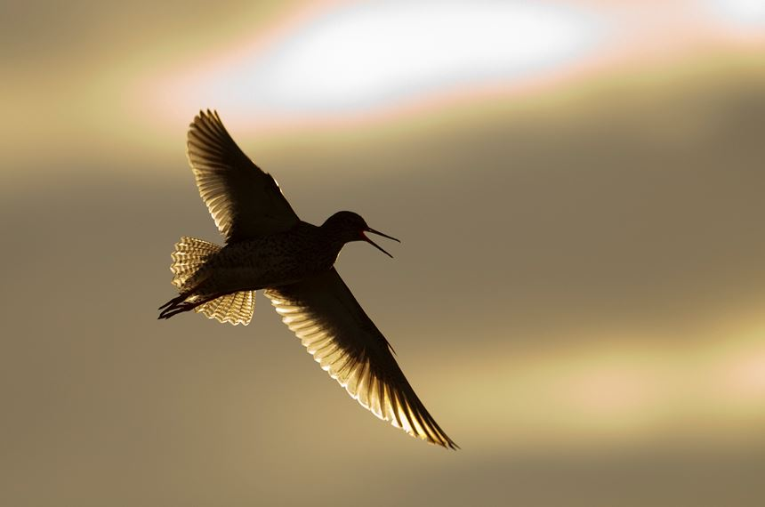 Redshank backlit in flight, Western Isles, Scotland. - Photo: Peter Cairns