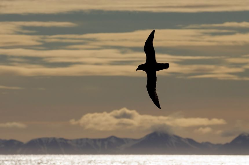 Fulmar in front of mountain range, Svalbard, Norway. - Photo: Peter Cairns