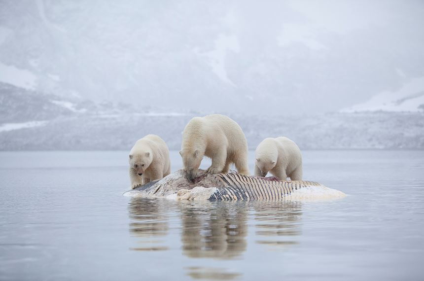 Polar bears feeding on dead whale, Svalbard, Norway. -