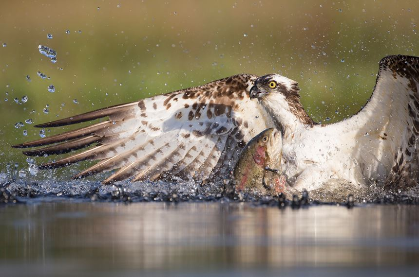 Osprey fishing at dawn, Cairngorms National Park, Scotland. - Photo: Peter Cairns
