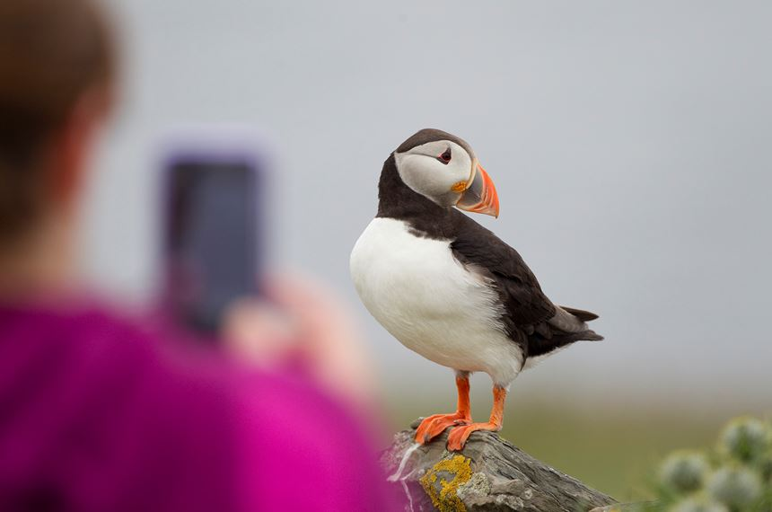 Tourist photographing puffin, Shetland Isles, Scotland. - Photo: Peter Cairns