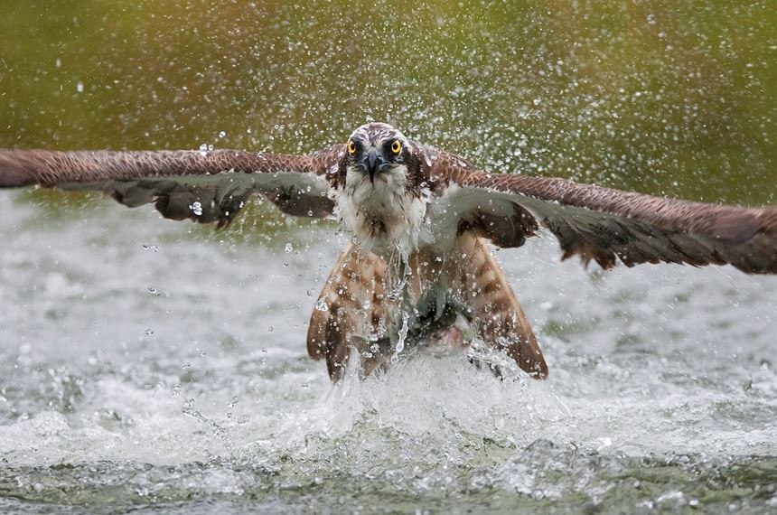 Osprey fishing, Kangasala, Finland. - Photo: Peter Cairns