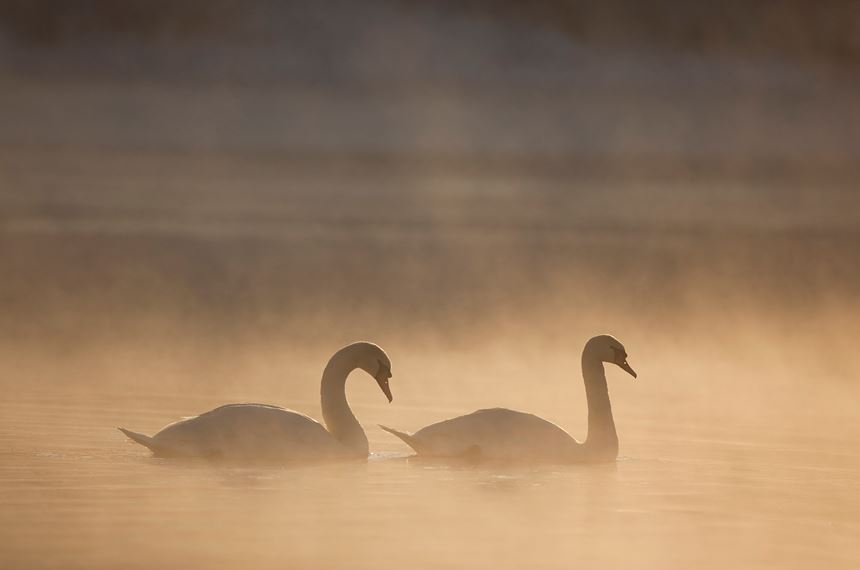 Mute swan pair at dawn, Loch Insh, Scotland. - Photo: Peter Cairns