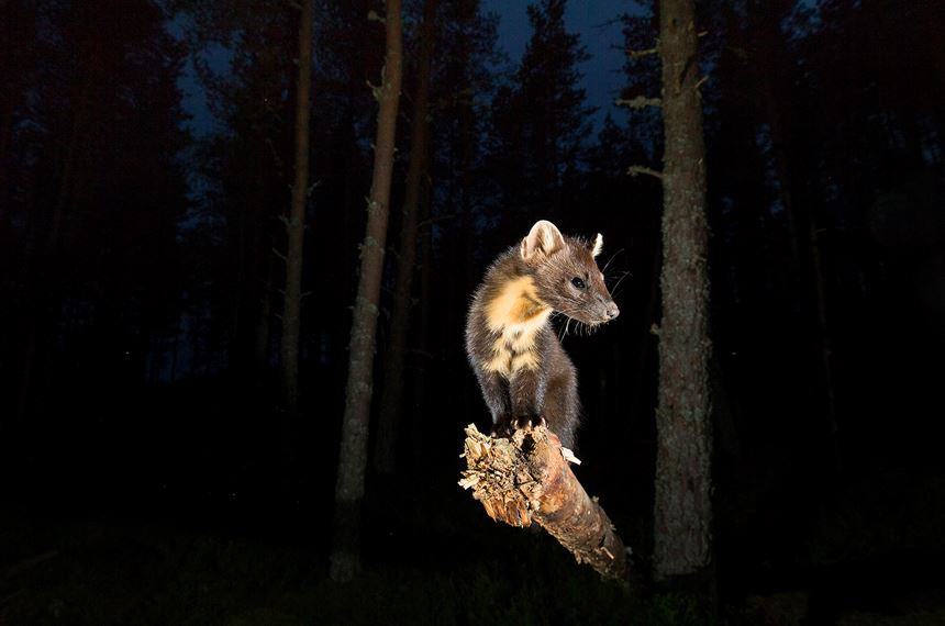 Pine marten at night in pinewood, Scotland. - Photo: Peter Cairns