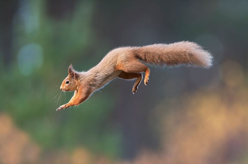 Red squirrel in mid flight in forest, Scotland. - Photo: Peter Cairns