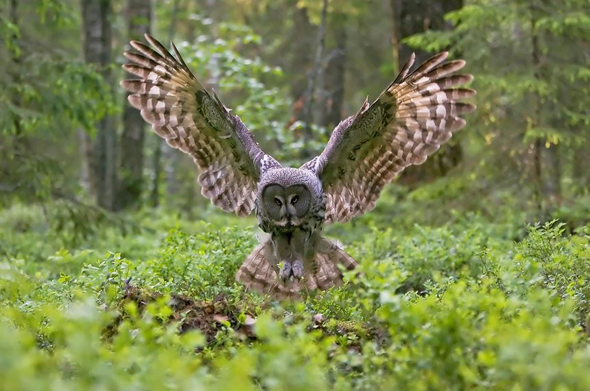 Great grey owl in flight in boreal forest, Finland. - Photo: Peter Cairns