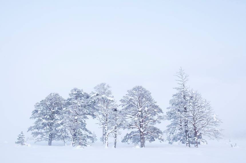 Scots pines in deep winter, Rothiemurchus Forest, Scotland. - Photo: Peter Cairns