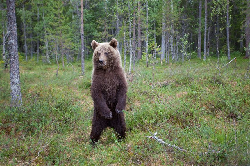 European brown bear in native forest, Eastern Finland. - Photo: Peter Cairns