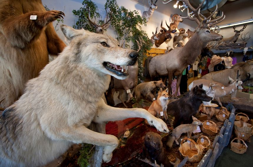 Stuffed Grey Wolf as part of shop trophy animal selection, Jackson Hole, USA - Photo: Peter Cairns