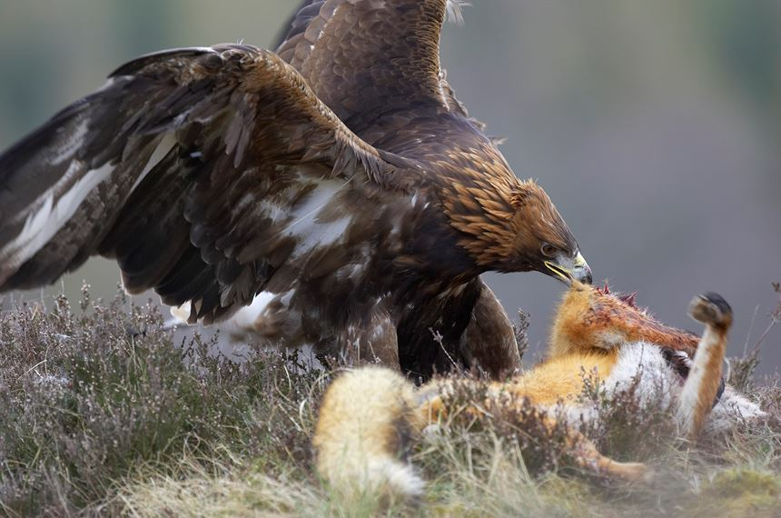 Golden Eagle feeding on red fox, Cairngorms National Park, Scotland (controlled). - Photo: Peter Cairns