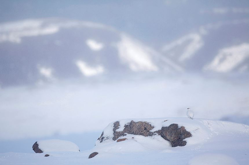 Ptarmigan in winter plumage, Cairngorms National Park, Scotland. - Photo: Peter Cairns