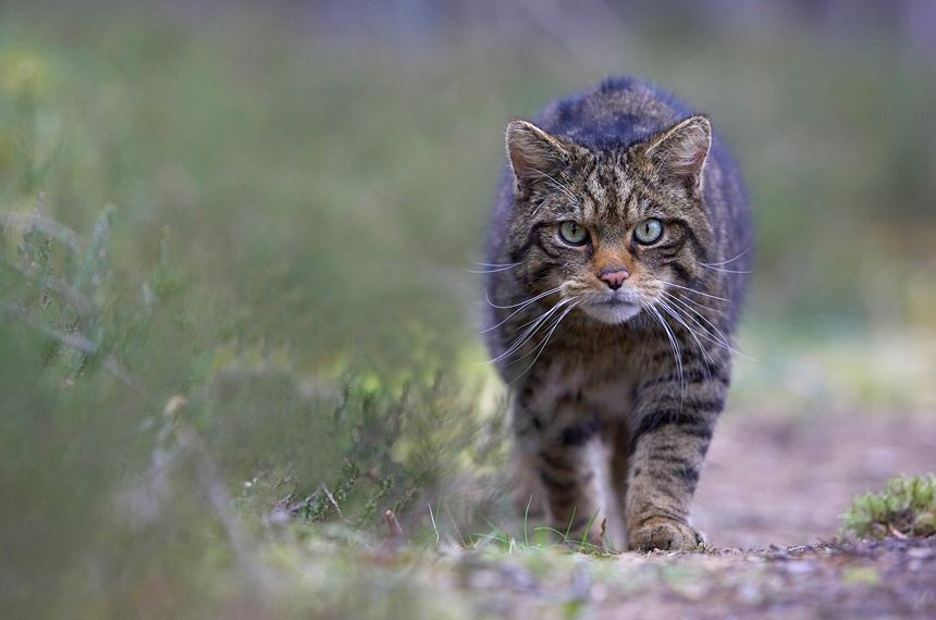 Scottish wildcat stalking along track in pine forest, Cairngorms National Park, Scotland. -