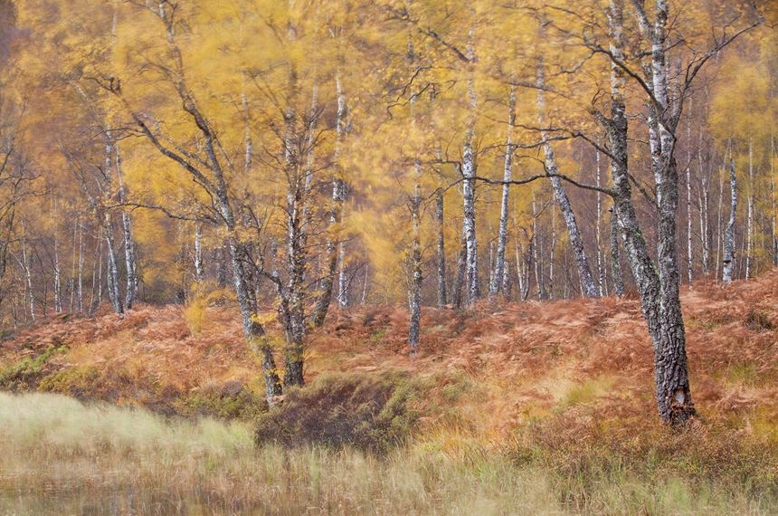 Autumnal birches, Craigellachie National Nature Reserve, Scotland. - Photo: Peter Cairns