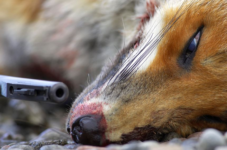 Close up of dead fox and rifle. Scotland. - Photo: Peter Cairns