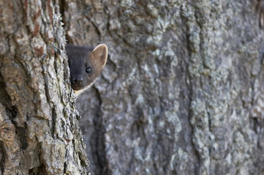 Pine marten peering around tree, Cairngorms National Park, Scotland. - Photo: Peter Cairns