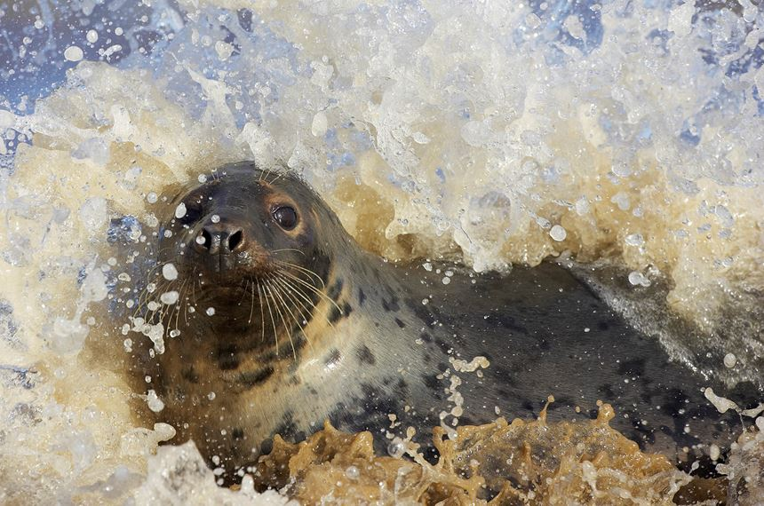Grey seal frolicking in surf, Lincolnshire, England. -