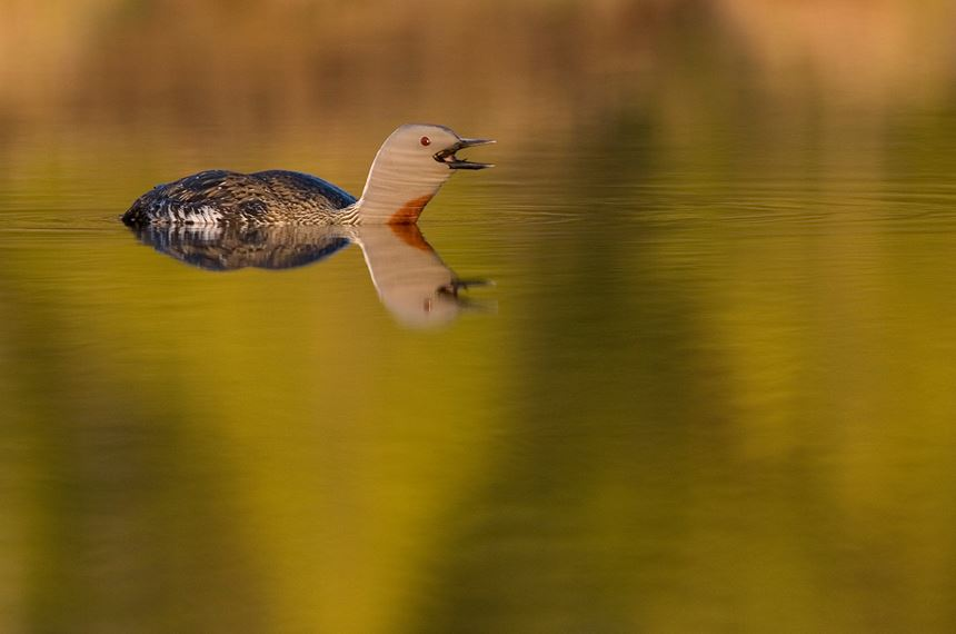Red-throated diver in evening light, Bergslagen, Sweden. - Photo: Peter Cairns