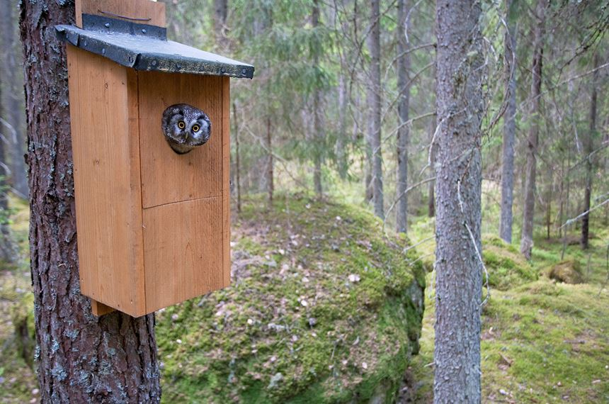 Tengmalms owl peering out of nestbox, Bergslagen, Sweden. - Photo: Peter Cairns
