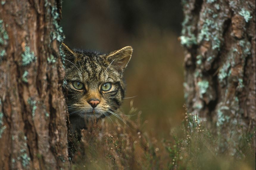 Scottish wildcat in pine woodland, Scotland. - Photo: Peter Cairns