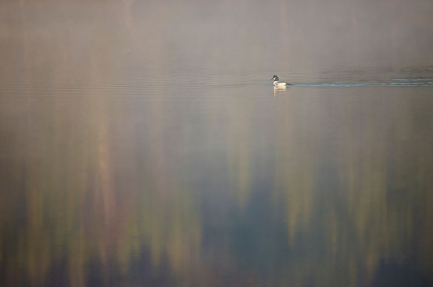 Goldeneye drake on woodland loch at dawn, Scotland. - Photo: Peter Cairns