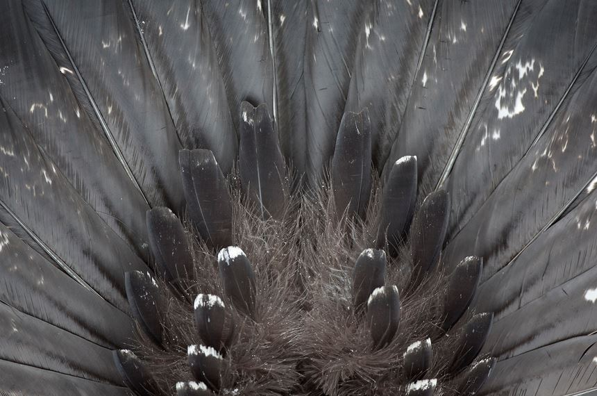 Section of tail of male capercaillie, Cairngorms National Park, Scotland. - Photo: Peter Cairns