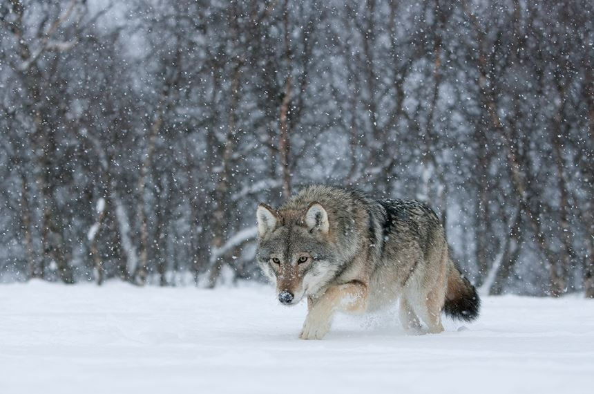 European wolf in winter birch forest, Norway (controlled) - Photo: Peter Cairns