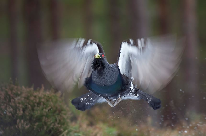 Capercaillie male flying in pine forest, Scotland. - Photo: Peter Cairns