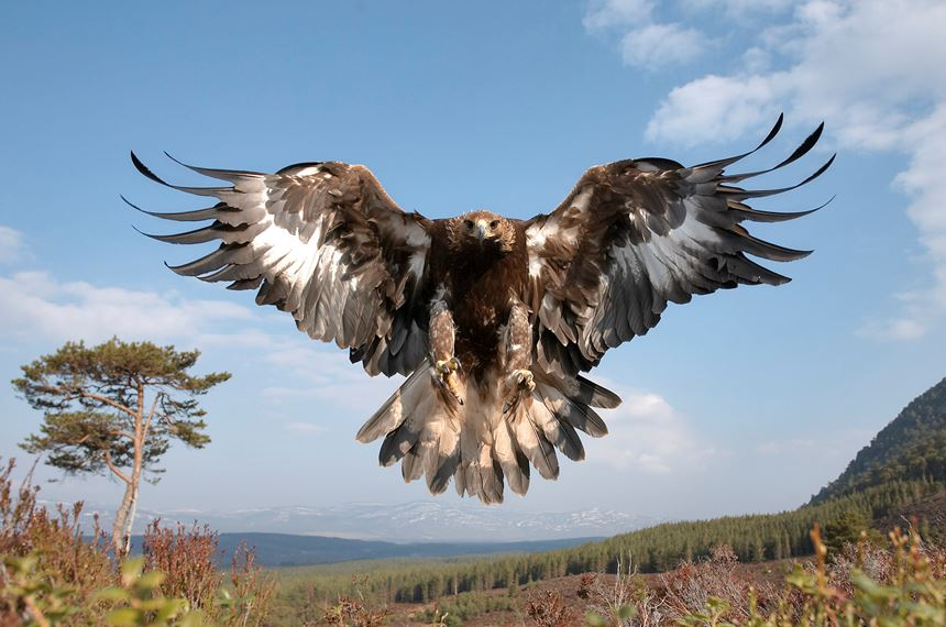 Golden eagle in flight, Cairngorms National Park, Scotland (controlled). - Photo: Peter Cairns