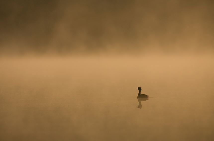 Slavonian grebe on misty lochan at dawn, Scotland. - Photo: Peter Cairns