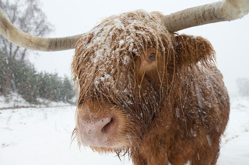 Highland cow used for woodland regeneration in blizzard, Scotland. - Photo: Peter Cairns