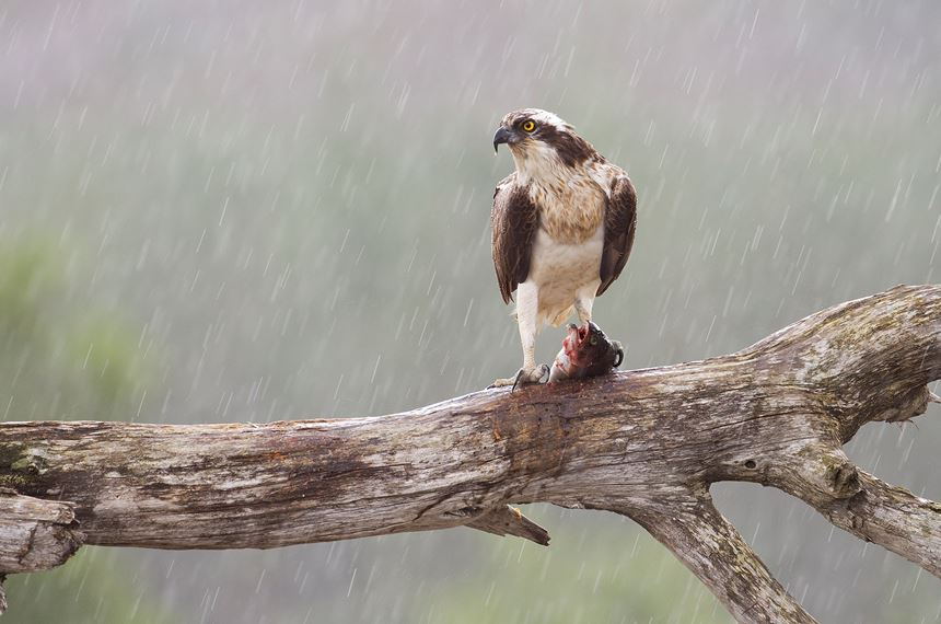 Osprey sat on feeding perch, Cairngorms National Park, Scotland. - Photo: Peter Cairns