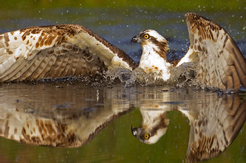 Osprey diving for fish, Scotland. - Photo: Peter Cairns