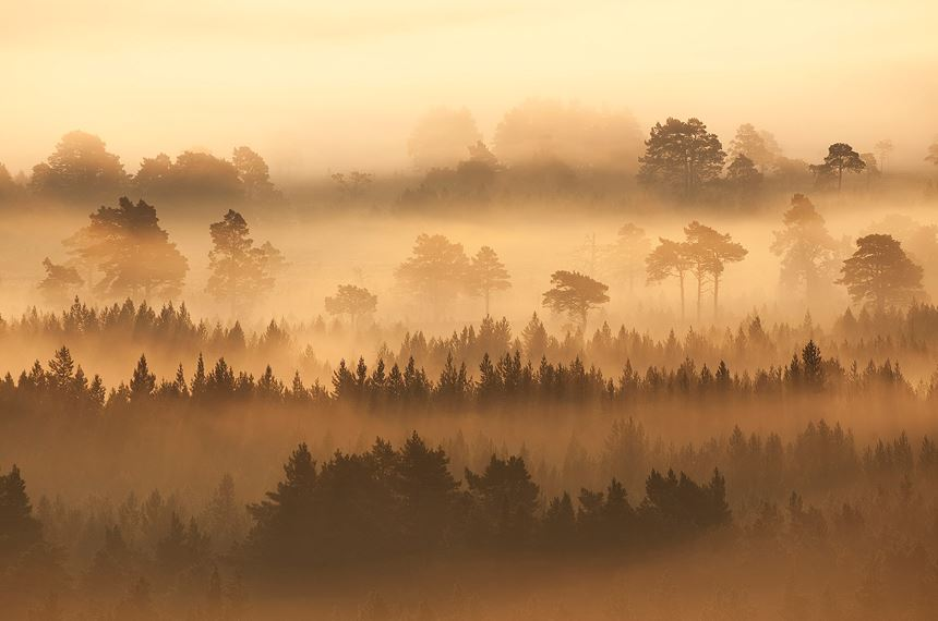 Native pine forest silhouetted at dawn, Scotland. - Photo: Peter Cairns