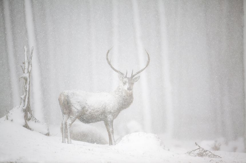 Red deer stag in heavy snowfall, Cairngorms National Park, Scotland. - Photo: Peter Cairns