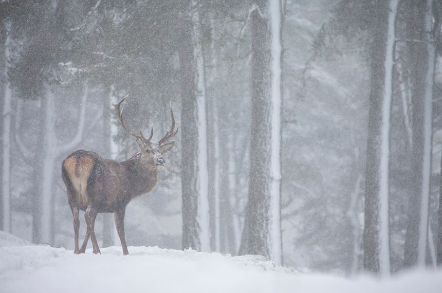 Red deer stag in blizzard, Scotland. - Photo: Peter Cairns