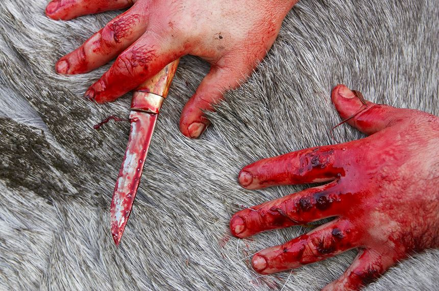 Close up of hunter's hands as he starts to skin elk, Nord-Trondelag, Norway. - Photo: Peter Cairns