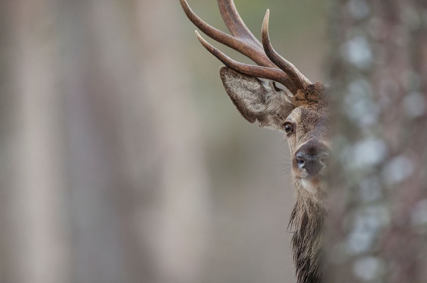 Red deer stag in pine forest, Cairngorms National Park, Scotland. - Photo: Peter Cairns