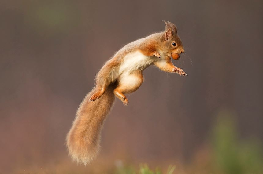 Red squirrel jumping, Cairngorms National Park, Scotland. - Photo: Peter Cairns