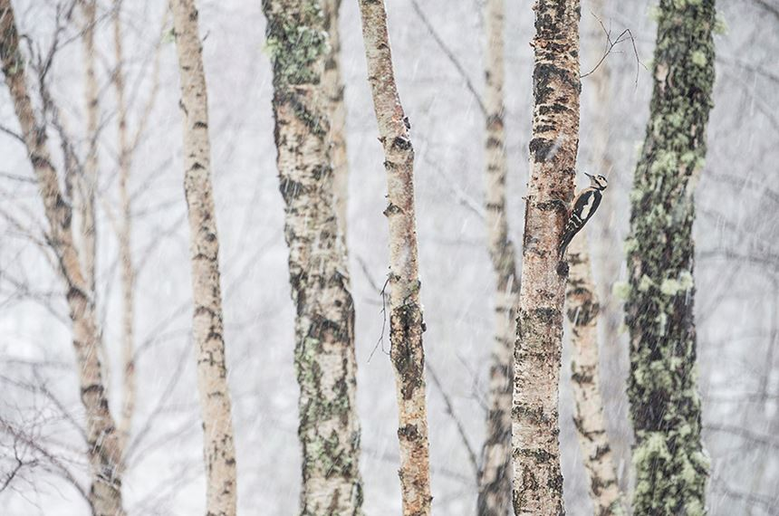 Great spotted woodpecker in birch forest in winter, Scotland. - Photo: Peter Cairns