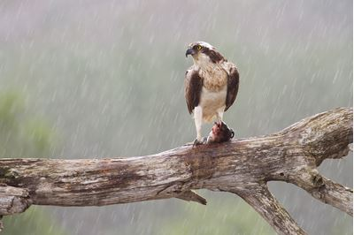 Osprey sat on feeding perch, Cairngorms National Park, Scotland.