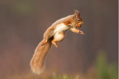 Red squirrel jumping, Cairngorms National Park, Scotland.