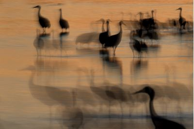 Sandhill cranes roosting at dusk, New Mexico, USA