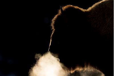 American bison backlit by winter sun, Yellowstone National Park, USA.