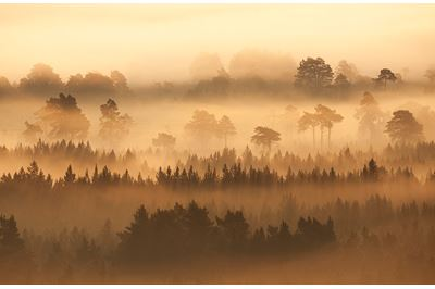 Native pine forest silhouetted at dawn, Scotland.