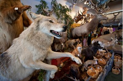 Stuffed gray wolf as part of shop trophy animal selection, Jackson Hole, USA