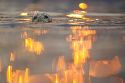 Grey seal with reflected lights from working harbour, Shetland, Scotland.