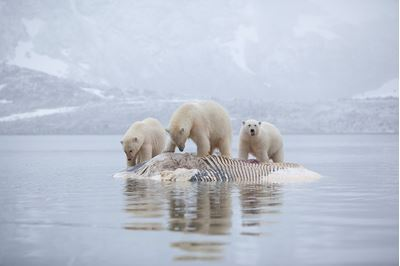 Polar bears feeding on dead whale, Svalbard, Norway.