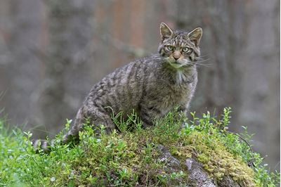 Scottsih Wildcat in pine woodland, Glenfeshie, Scotland.