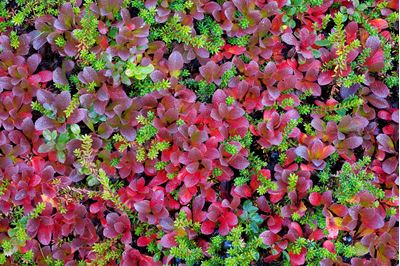 Mix of autumnal mountain bearberry and crowberry, Sarek National Park, Laponia World Heritage Site, Sweden