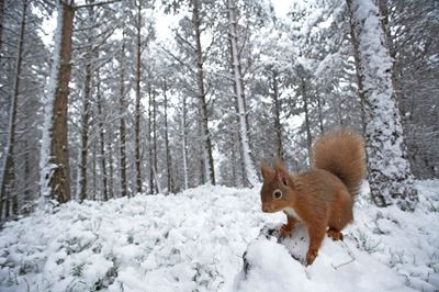 Red squirrel in snow-laden forest, Scotland.